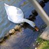 白鳥の食事
