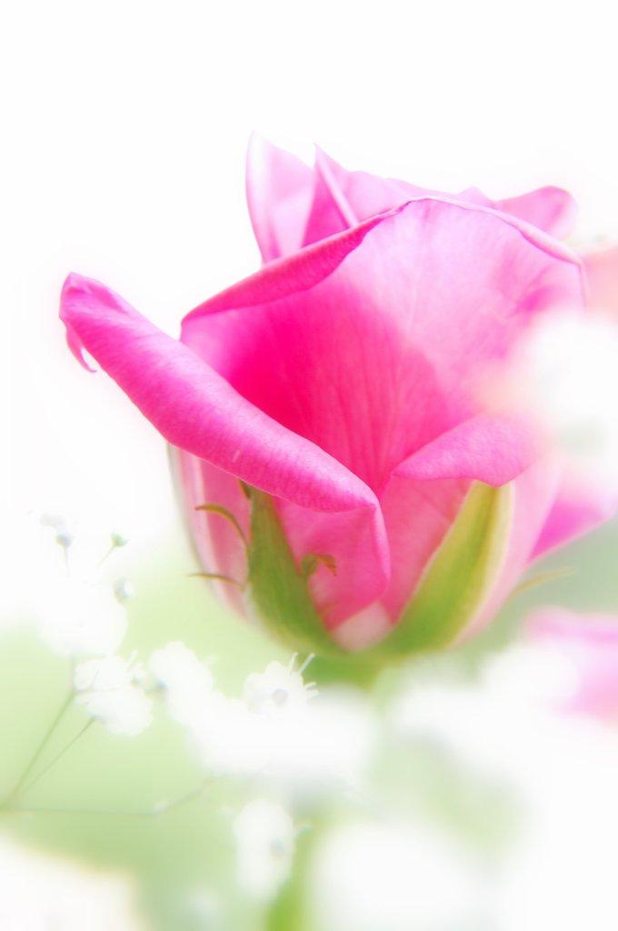 薔薇とかすみ草