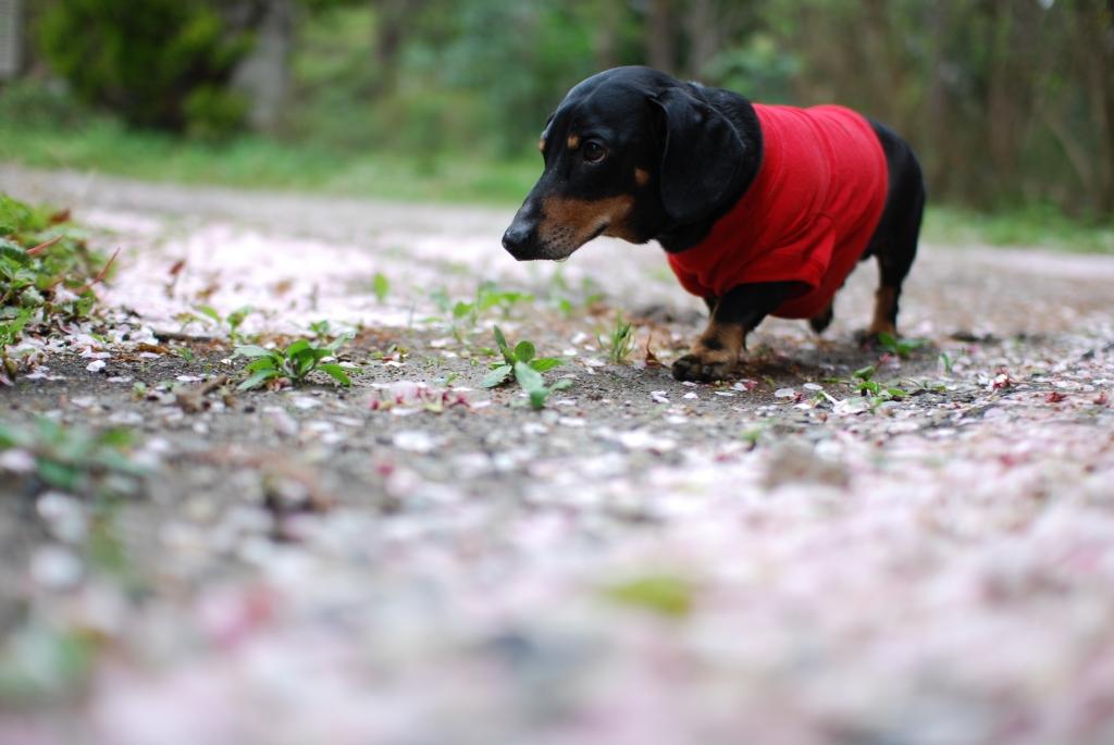 桜の絨毯の中で