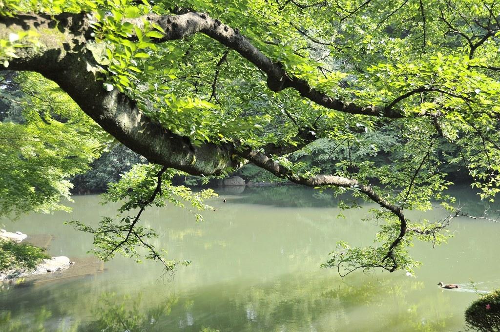 伸びる枝と鴨