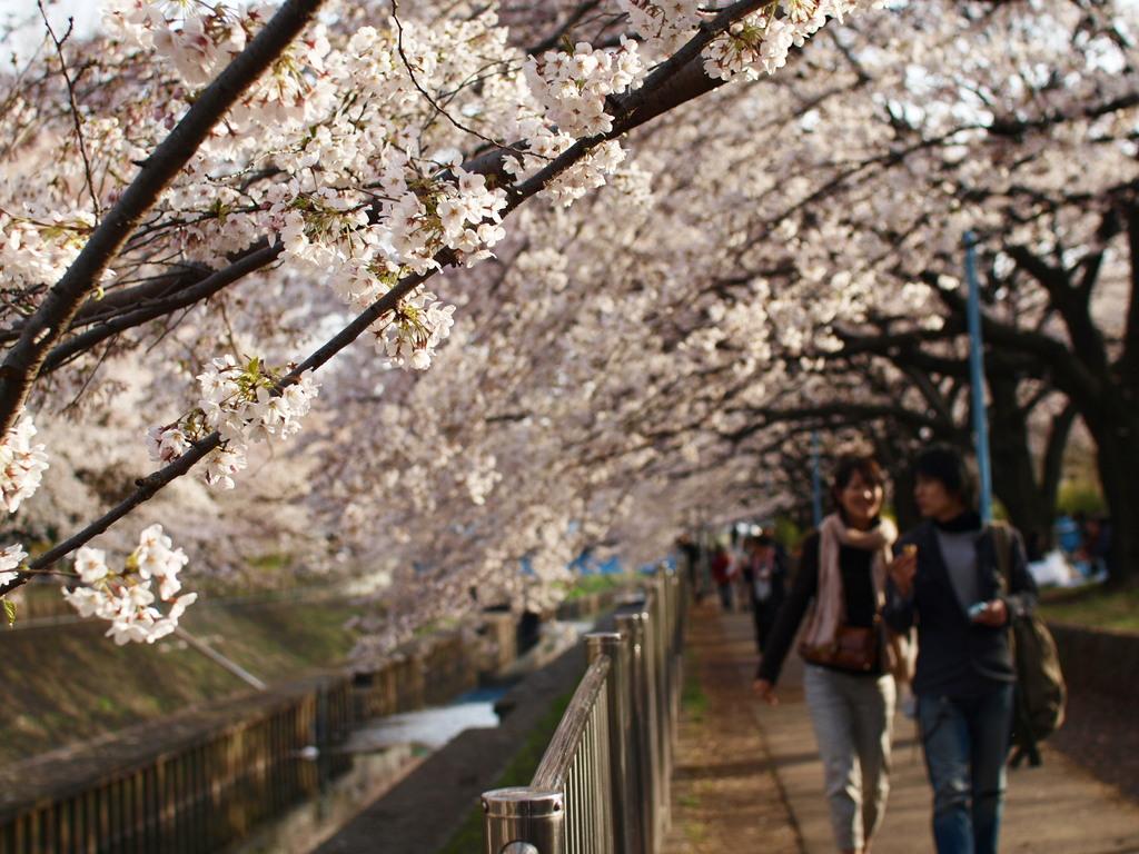 誘われて~桜