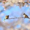 桜で遊ぶ雀たち