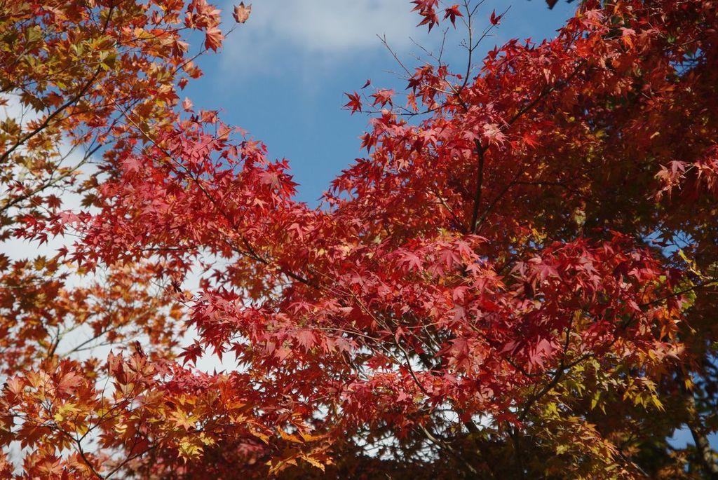 段戸湖の紅葉