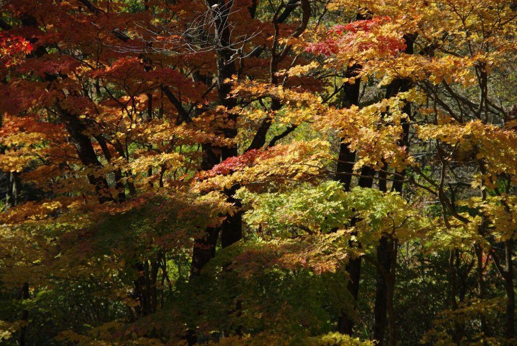段戸川沿いの紅葉