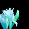 CANON Canon EOS 40Dで撮影した植物(闇に浮き立つ)の写真(画像)