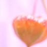 CANON Canon EOS 40Dで撮影した植物(HEART)の写真(画像)