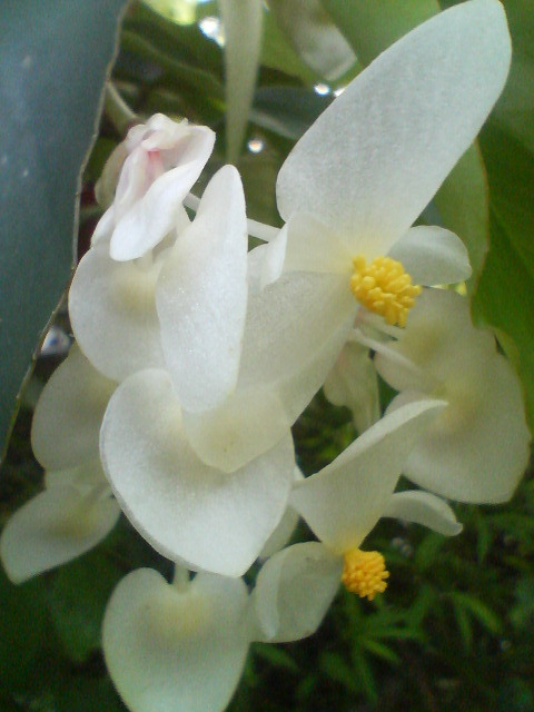 ミセスハシモト(木立ベゴニア)20080705