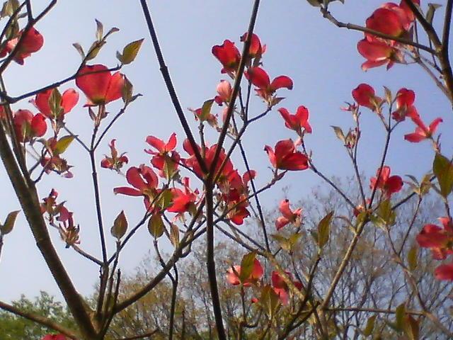 花水木 20080425