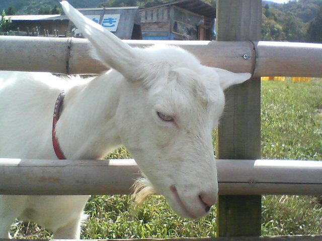 ヤギの流し目 20080927