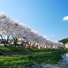夕暮れ前の千蔵桜