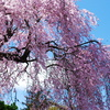 枝垂れ青桜