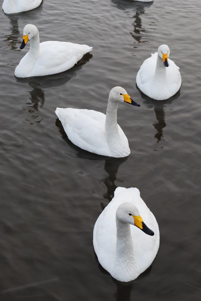 Four Swan