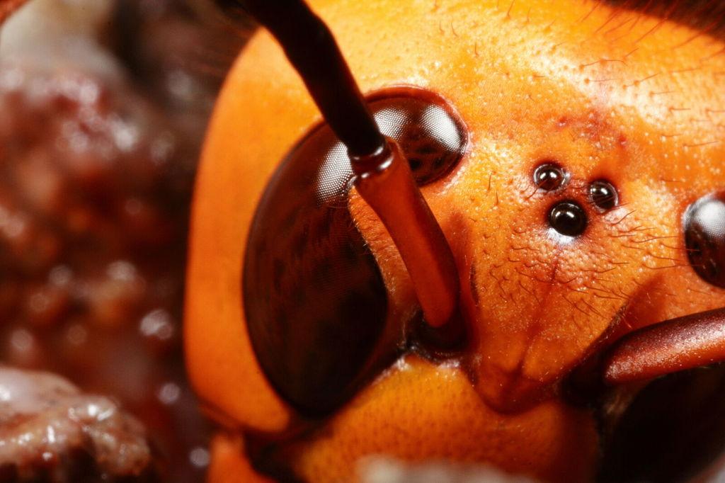 スズメバチの超マクロ