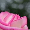 京王アンジェのバラ