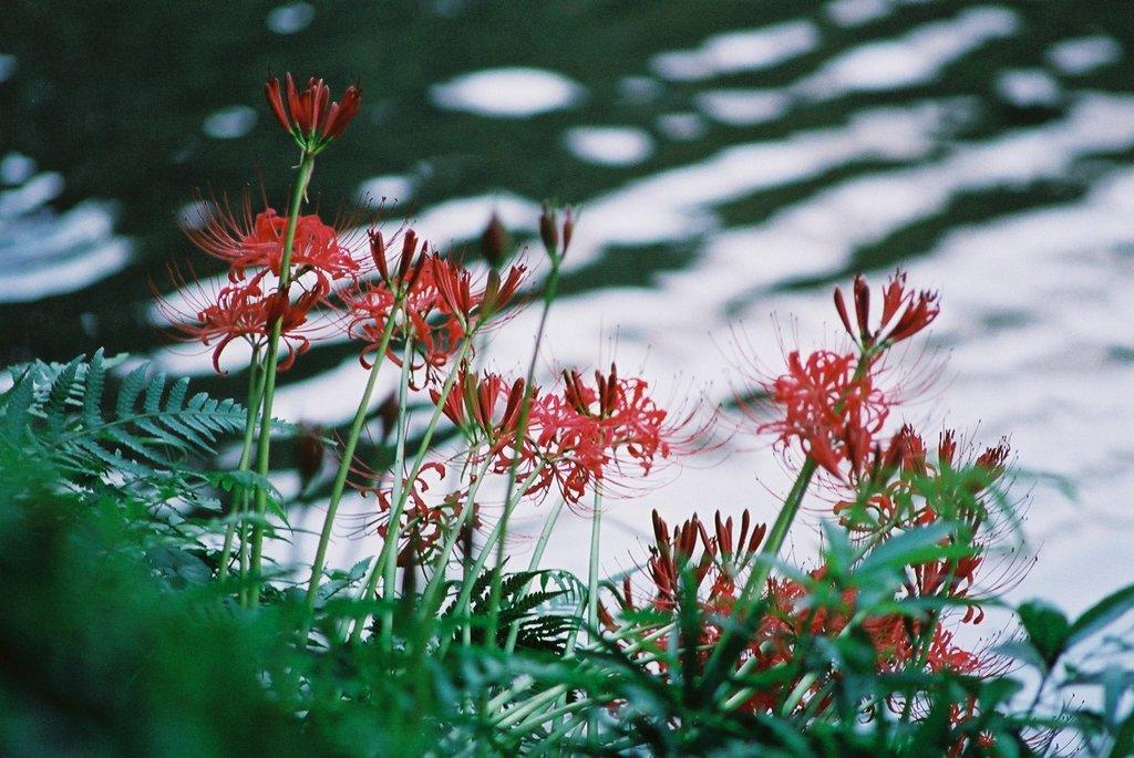 小石川後楽園の彼岸花(1)