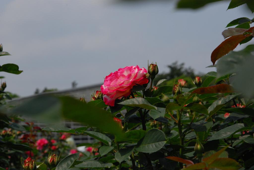 神代植物公園のバラ(1)