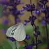 ラベンダーと蝶(1)