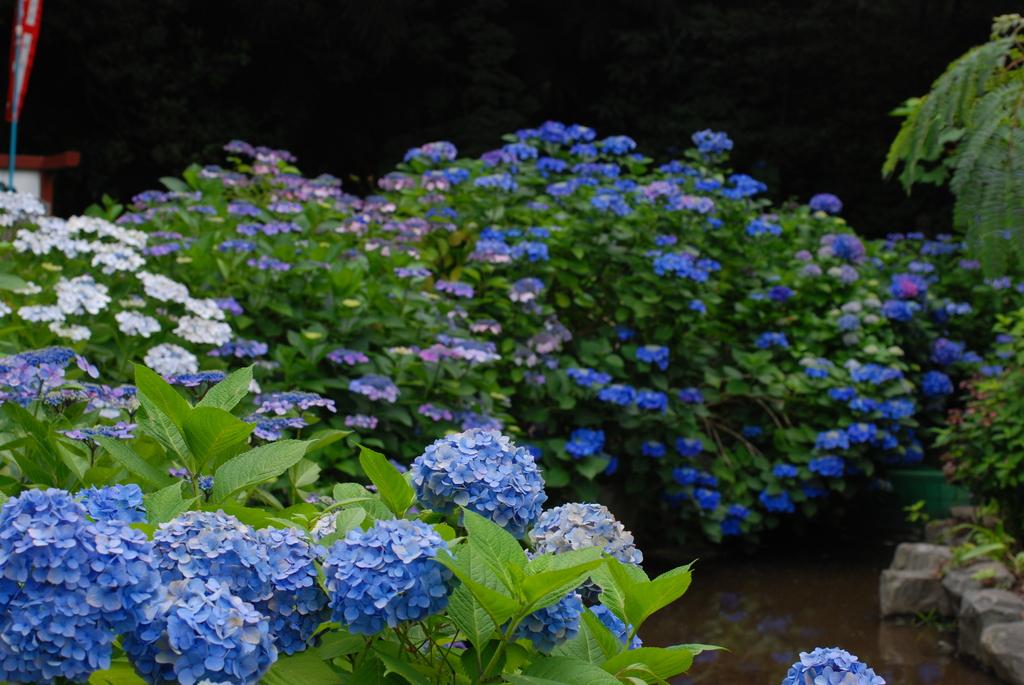 高幡不動の紫陽花(1)