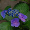 高幡不動の紫陽花(7)