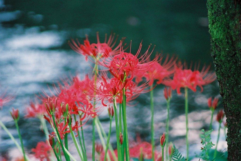 小石川後楽園の彼岸花(3)