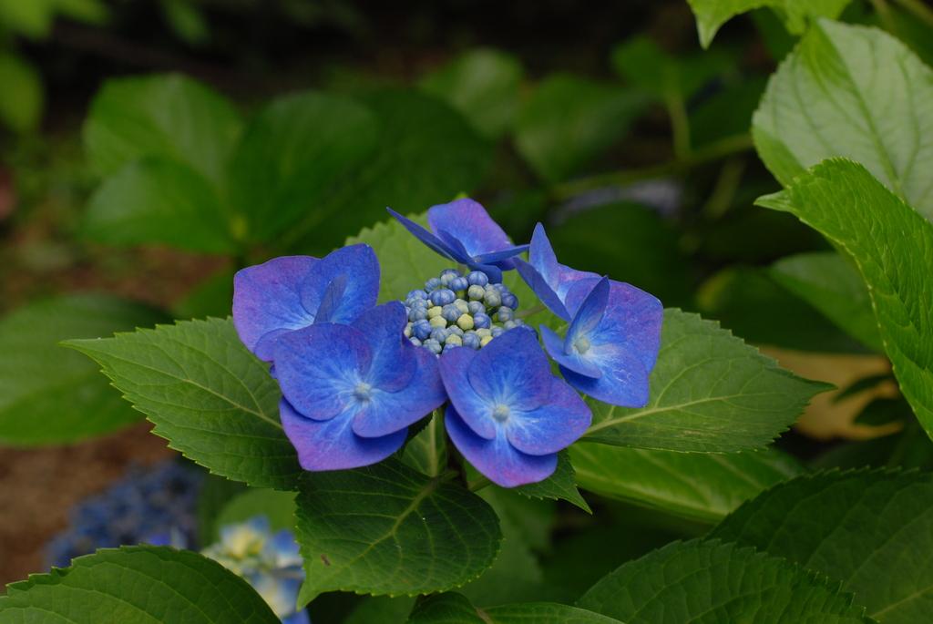 高幡不動の紫陽花(2)