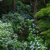 高幡不動の紫陽花(6)