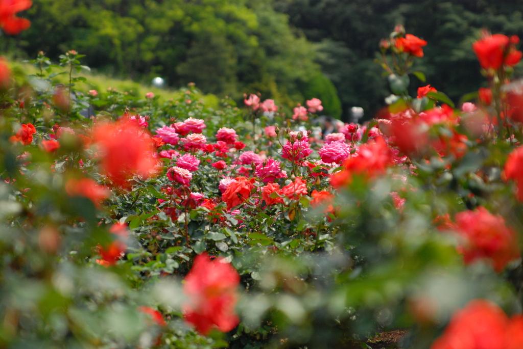 神代植物公園のバラ(4)
