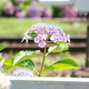 紫陽花と線路