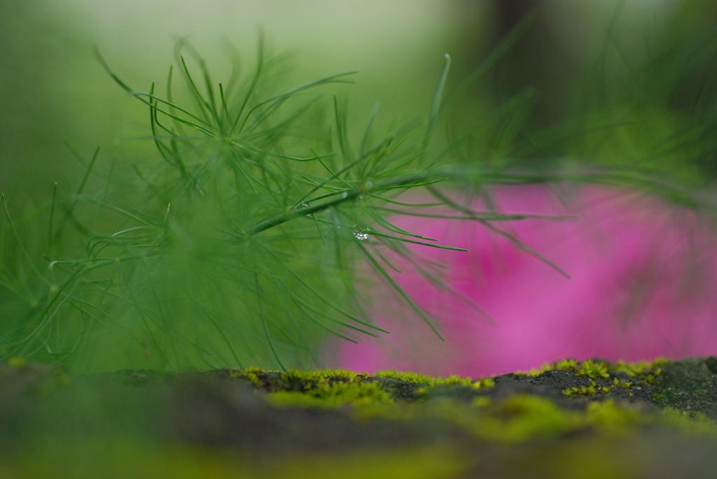 煙る紫陽花