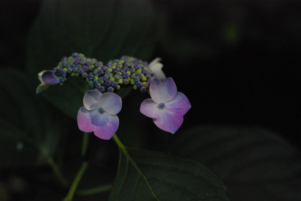 紫陽花(井の頭公園)