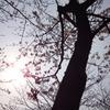 東海市中ノ池の桜。