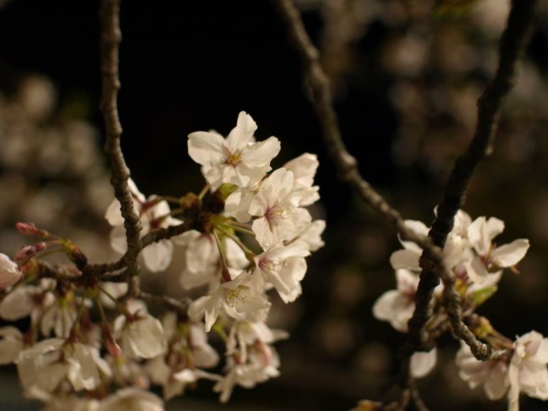 夜桜と言えばお七