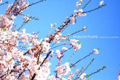 2010年、桜。