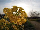 夕景の菜の花