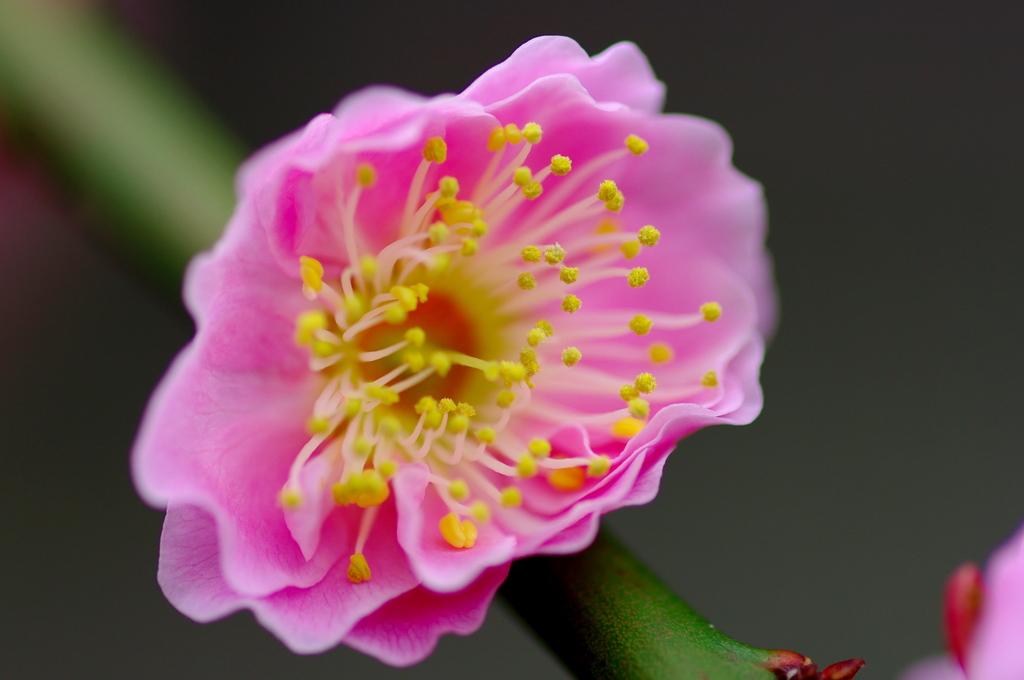 自宅で咲いてた梅