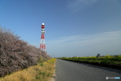 桜の河川敷