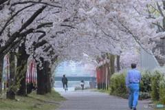 2017年の桜 8