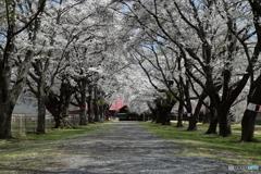 歩きたくなる桜並木