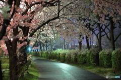 2017年の桜 4