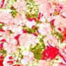 NIKON NIKON D40Xで撮影した植物(赤花)の写真(画像)