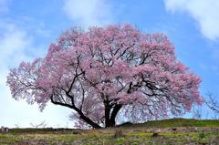 南小河内の一本桜