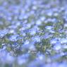 ブルーの絨毯♪