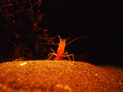 shrimp dance