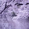 桜を映す頃