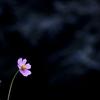 秋桜の嘆き