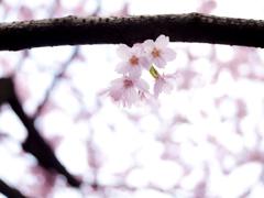 春色シャワー