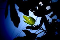 Art of fig tree 1