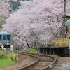 桜と樽鉄4