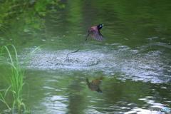 サンコウチョウの水浴び