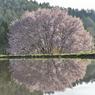 水田に移る天王桜